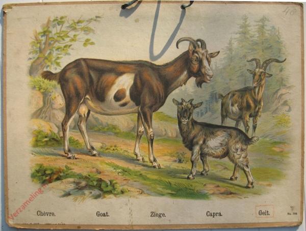 732 - Chevre, Goat, Ziege, Capra, Geit